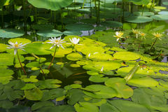 Pond full of beautiful lotus flowers  Wellington Botanic garden Royalty Free Stock Image
