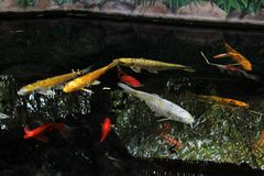 A pond full of colorful fish swimming together royalty free stock photography