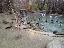 Pond full of ducks Stock Image