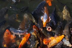 Pond full with hungry goldfish Royalty Free Stock Image