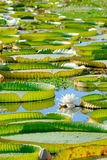 Pond full of Victoria Waterlily. Victoria waterlily (Victoria cruziana) in Tropical South America stock image