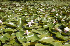 Pond full of water lily leaves and flowers in the sunshine UK Stock Photo