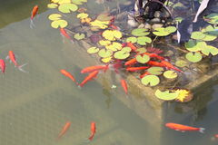 Pond-Goldfish Stock Images
