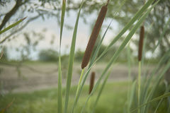 The pond grass. Detail of tifa plant, Typha latifolia, photographed in a pond, in northern italy, a typical plant of wet and stagnant areas Stock Photography