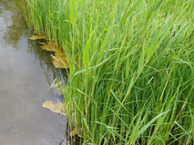 Pond grass Royalty Free Stock Photography