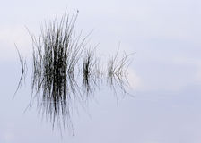 Pond Grass Reflection. Merritt Island Refuge Florida Royalty Free Stock Photography