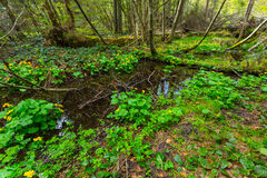 Pond in a green forest Royalty Free Stock Image