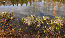 Pond growth & reflections Stock Photography