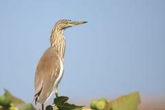 Pond Heron Stock Photo