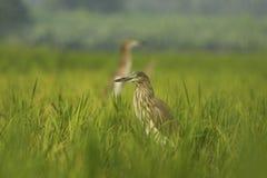 Pond Heron Stock Photography