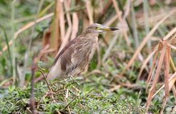 Pond heron Stock Images