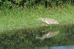 Pond Heron Bird Stock Image
