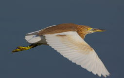 Pond heron bird. Flying in the sky. yellow - colored beak, legs and eyes, white colored wings and light color of the body provide beauty to the bird Stock Images