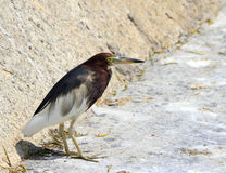 Pond heron Royalty Free Stock Photos