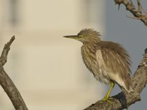 Pond heron feathers displayed royalty free stock images
