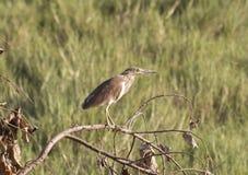 Pond Heron Stock Photos