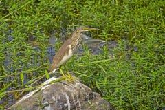 Pond heron Royalty Free Stock Photo