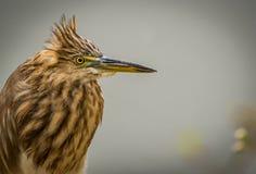 Pond Heron Portrait - Crown wind effect