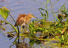 A pond Heron and it's reflection Royalty Free Stock Photography