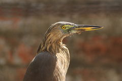 Pond Heron At Vigilance! Royalty Free Stock Photo