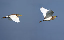 Pond Herons in flight Stock Photos