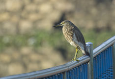 Pond herons Royalty Free Stock Images