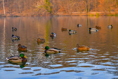 Pond inhabited by richly colored ducks Royalty Free Stock Photography
