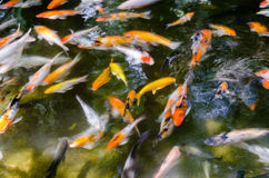 Pond Of Kois. School of Kois fish swimming in a pond Royalty Free Stock Photos