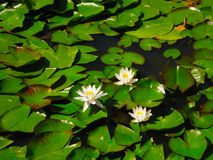 A pond with leaves and flowers of water lily stock photography