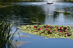 Pond with Lilies Stock Photography