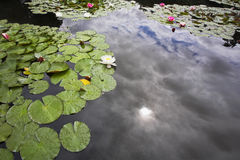 Pond with the lilies, Stock Images