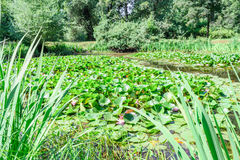 Pond with lilies. Green pond. Quiet lake among the green trees. Pond with lilies. Lilies in the pond. Quiet, picturesque pond on a clear, Sunny day Royalty Free Stock Photos
