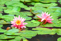 Pond lilies in the rain Royalty Free Stock Photography