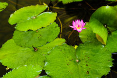 Pond lily Royalty Free Stock Image