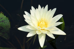 Pond Lily. Beautiful flower in a lily pond Royalty Free Stock Photo