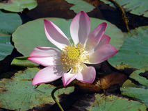 Pond lily Royalty Free Stock Photography