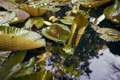 Pond With Lily Stock Photography