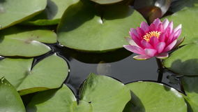 Pond lily lotus flower green plant stock footage