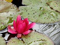 Pond lily. Pink pond lily in rain Royalty Free Stock Image