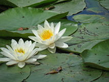 Pond lily. Two white pond lilies on water Stock Photography