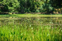 Pond located in the forest and surrounded by green plants Royalty Free Stock Photos