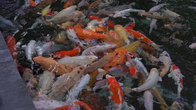 Pond with lots of red, white and golden sacred carps in Asia. Bali Tirta empul hly springs