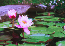 Pond with lotus flowers Stock Photo
