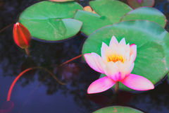 Pond with lotus flowers Royalty Free Stock Photo