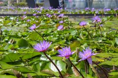 Lotus flowers in downtown Singapore. A pond of lotus flowers and lily pads in downtown Singapore royalty free stock photos