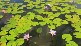 Pond with lotus stock video footage