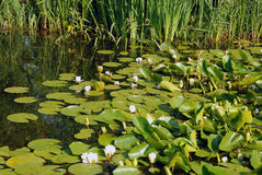 Pond with lotuses Royalty Free Stock Photography