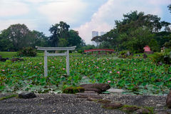 Pond of lotuses in japanese garden. Singapore Royalty Free Stock Photography