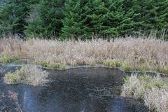 The banks of an icy pond in the woods with pine trees and dry grass in December in Nova Scotia. A pond in the middle of the forest before the snow arrives stock photography