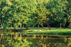 Pond in the morning park. Beautiful scenery in sunlight. ducks on the shore. reflection in the water surface stock photography